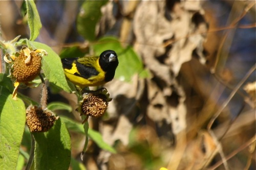 Black-headed Siskin - Michae Retter