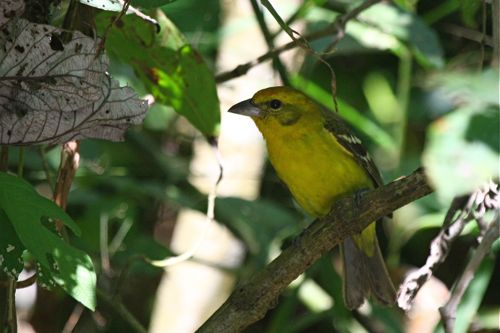 Piranga bidentata (Flame-colored Tanager) - M. Retter