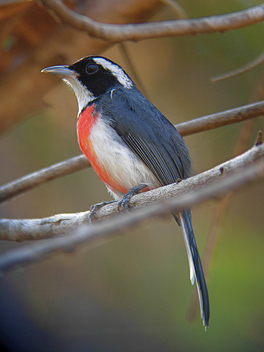 Red-breasted Chat - Michael Retter
